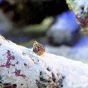 (海水魚)生餌 エサ用小型巻貝(チグサガイ ミックス) コケの掃除(20匹) 北海道航空便要保温