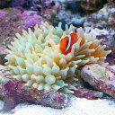 (海水魚 エビ)サンゴイソギンチャク SS−Sサイズ(1匹)+ イソギンチャクモエビ(2匹)