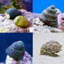 (海水魚)貝 おまかせクリーナースネール(10匹)