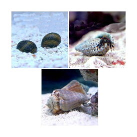(海水魚)貝・ヤドカリ 30cm水槽用 おすすめクリーナーセット コケ・底砂の掃除(1セット) 北海道航空便要保温