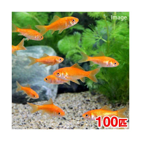 (金魚)生餌 小赤 エサ用金魚 大和郡山産(100匹) エサ金 餌金
