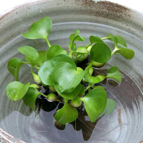 (浮草)ホテイ草 国産(ホテイアオイ)(10株) 金魚 メダカ