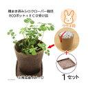 (観葉)種まき済み シロクローバー栽培 ECOポット+ECO受け皿 1セット 白クローバー 白詰草 シロツメクサ う…