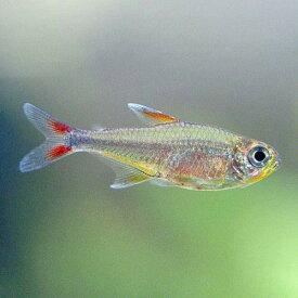 (熱帯魚)ハイフェソブリコンsp.ウォルターレッド(ワイルド)(3匹) 北海道・九州航空便要保温