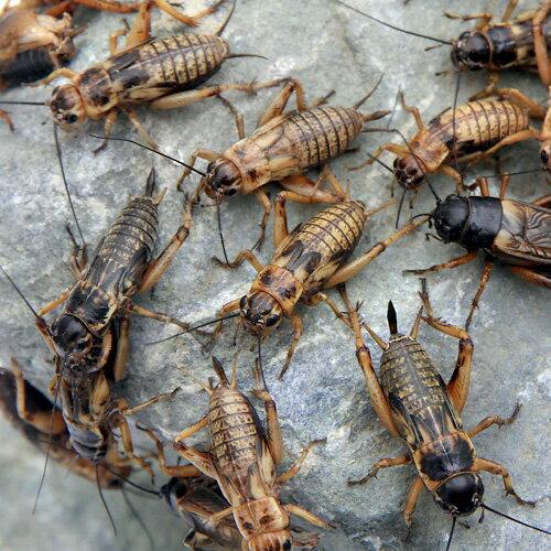 (生餌)フタホシコオロギ ML 80グラム(約160匹) 爬虫類 両生類 大型魚 餌 エサ 北海道・九州航空便要保温