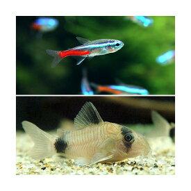 (熱帯魚)30cm水槽用小型魚セット(ネオンテトラ10匹+Co.パンダ3匹)