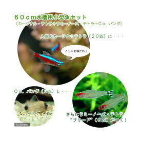 (熱帯魚)60cm水槽用小型魚セット(カージナルテトラ20匹+ラミーノーズ・テトラ5匹+Co.パンダ6匹)