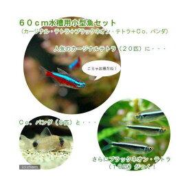 (熱帯魚)60cm水槽用小型魚セット(カージナルテトラ20匹+ブラックネオン・テトラ10匹+Co.パンダ6匹)