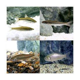 (淡水魚)生餌 エサ用川魚 Sサイズ(10匹)