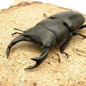 (昆虫)国産オオクワガタ 兵庫県阿古谷産 幼虫(初〜2令)(3匹)