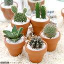 (観葉)おまかせプチサボテン テラコッタポット植え(お買い得5鉢セット)(説明書付き)