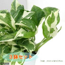 (観葉植物)ポトス エンジョイ 3号(3ポット)
