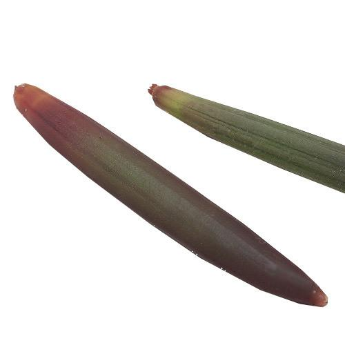 (海水魚)観葉植物 オヒルギ(雄蛭木)の種(5本) 北海道・九州航空便要保温
