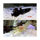 (海水魚)オドリハゼ+共生エビセット(1セット) 北海道・九州・沖縄航空便要保温