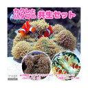(海水魚)カクレクマノミ(3匹)+沖縄産 ハタゴイソギンチャク SMサイズ 共生セット(1セット) 北海道・九州航…