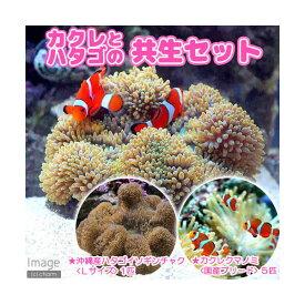 (海水魚)カクレクマノミ(5匹)+沖縄産 ハタゴイソギンチャク Lサイズ 共生セット(1セット) 沖縄別途送料