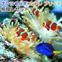 (海水魚)ナンヨウハギ(1匹)+カクレクマノミ(国産ブリード)(3匹) 仲良しセット