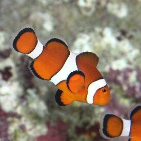 (海水魚)沖縄産 カクレクマノミ S&Mサイズセット(ワイルド)(1セット)