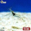 (海水魚)生餌 エサ用エビミックス Sサイズ(50匹)
