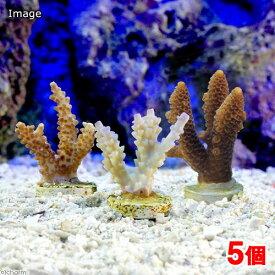 (サンゴ)オーストラリア産 おまかせミドリイシ プラグ付き(5個) 海水魚 沖縄別途送料 北海道・九州航空便要保温