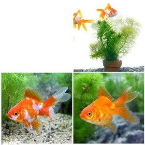 (国産金魚)(水草)おまかせメダカ・金魚藻ミニ鉢 1鉢 +(淡水魚)琉金セット(更紗琉金+琉金 各1匹)