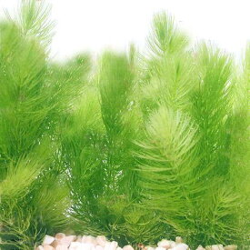 (水草)国産 無農薬マツモ(10本) 北海道航空便要保温
