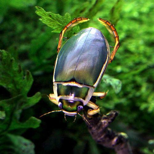 (昆虫)エゾゲンゴロウモドキ 青森県産 オス(1匹)