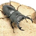 (昆虫)国産オオクワガタ 山梨県韮崎市産 成虫 オス70〜74mm(1ペア) 北海道航空便要保温
