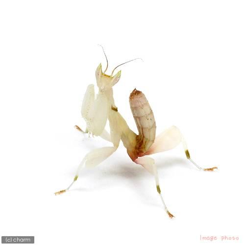 (昆虫)(B品)ランカマキリ(ハナカマキリ)(WD)(1ペア) 北海道・九州航空便要保温