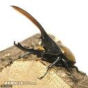 (昆虫)ヘラクレス・オキシデンタリス エスメラルダス産 幼虫(3令)(1ペア) ヘラクレスオオカブトムシ 北海道航空便要保温