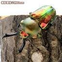 (昆虫)ニジイロクワガタ クィーンズランド産 スーパーレッド 成虫 60mm(1ペア)外国産クワガタ 北海道航空便要保温