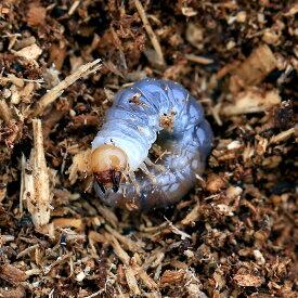 (昆虫)国産オオクワガタ 大阪府能勢町産 SR血統 幼虫(初〜2令)(1匹)