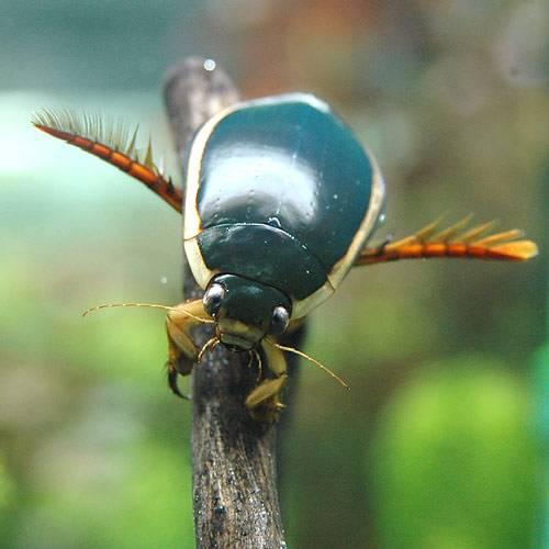 (昆虫)ゲンゴロウ メス(3匹)