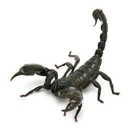 (昆虫)チャグロサソリ(1匹) 沖縄・離島不可 タイム便・航空便不可