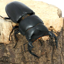 (昆虫)アンタエウスオオクワガタ インド ラチラ産 60〜64mm(1ペア) 沖縄・離島不可 タイム便・航空便不可