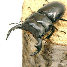 (昆虫)アンタエウスオオクワガタ インド産 成虫 74mm(1ペア) 沖縄・離島不可 タイム便・航空便不可