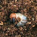 (昆虫)パラワンオオヒラタクワガタ ブルックスポイント産 幼虫(初〜2令)(3匹) 北海道航空便要保温