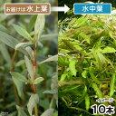 (水草)ハイグロフィラ ポリスペルマ セイロン(水上葉)(無農薬)(10本)