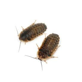 (生餌)デュビア(アルゼンチンモリゴキブリ) Mサイズ(50匹) 爬虫類 大型魚 餌 エサ