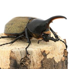 (昆虫)(B品)ヘラクレス・ヘラクレス グアドループ産 オス89mm(1ペア) 沖縄・離島不可 タイム便・航空便不可