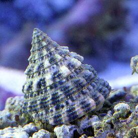 (海水魚)貝 ターボスネール コケの掃除(6匹)