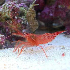 (海水魚)エビ ペパーミントシュリンプ(ワイルド)(3匹)カーリー対策 北海道・九州・沖縄航空便要保温