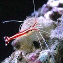 (海水魚 エビ)スカンクシュリンプ Sサイズ(3匹) 北海道・九州・沖縄航空便要保温