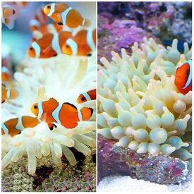 (海水魚)カクレクマノミ(2匹)+サンゴイソギンチャクセット(1セット) 熱帯魚 北海道航空便要保温