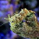 (海水魚 エビ)フシウデサンゴモエビ(5匹)