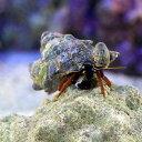 (海水魚)ヤドカリ クリイロサンゴヤドカリ(3匹)