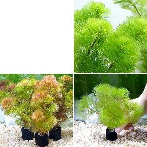(水草)メダカ・金魚藻 マルチリングブラック(黒) カボンバ 3種カラーセット 各1個(計3個)