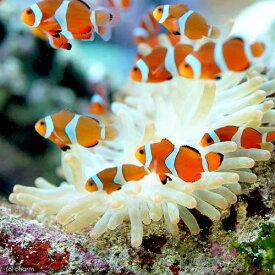 (海水魚)カクレクマノミ(国産ブリード)(50匹)熱帯魚 沖縄別途送料