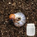 (昆虫)国産オオクワガタ幼虫(1匹) + 菌糸瓶 XL−POT ヒラタケ 800cc 1本 説明書付 本州・四国限定