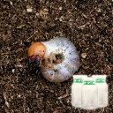 (昆虫)国産オオクワガタ幼虫(3匹) + 菌糸瓶 XL−POT ヒラタケ 800cc 3本 説明書付 本州・四国限定